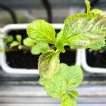 モロヘイヤ復活して来たけど…なんか黒いのがあるなぁ再生力の確認をするために、色々な長さで茎をカットしたのですが、一番短い地面から5センチの茎はまだ葉が出る気配なし。あまり短くしないほうがいいのかな?#モロヘイヤ#復活#したのか#超狭小#プランター#農園