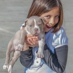 American Bully puppy Kobe with girl