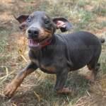 Blue Doberman Pinscher In The Carolinas Img 0902418 Husky Palace