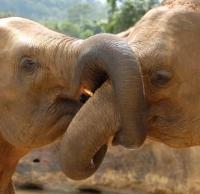 elephants_kissing
