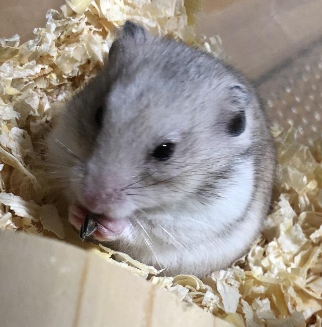 ハムスターは冬眠する?動かない時の対処法と冬眠対策