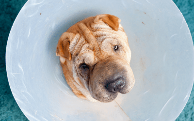 Cirurgias veterinárias – o que precisa de saber!