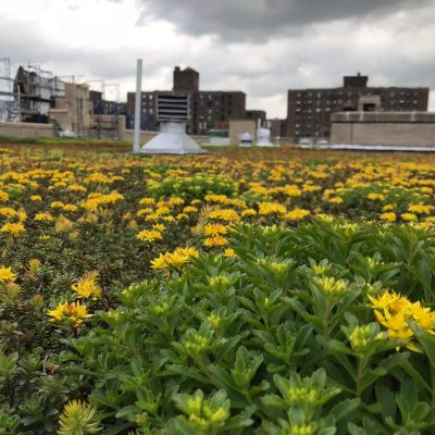 Extensive green roof on a high school in Brooklyn by Highview Creations