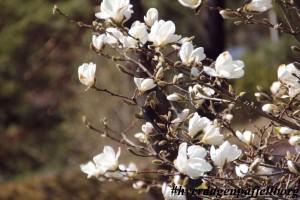 Magnolia Østfold
