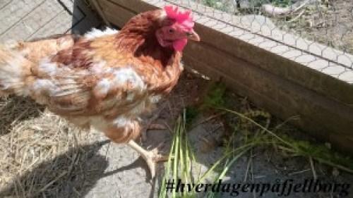 #reddhøna og reduser matsvinn Pensjonerte verpehøner av rasen Lohman