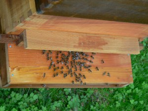 Bees Fanning on a Hive In Buxted East Sussex in the High Weald
