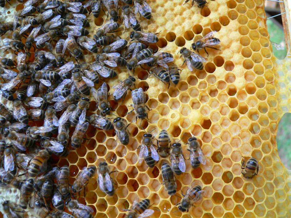 Frame of brood from a hive in Buxted near Uckfield, East Sussex