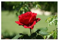 One red rose for blog You don't Owe Me