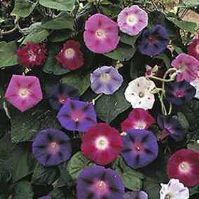 Morning Glory Assorted