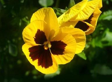 Yellow w/ Blotch