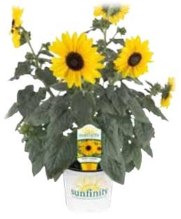 1 Gallon Sunfinity Sunflower – NEW 2019!