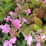 Hydrangea early sensation, ideal for pots