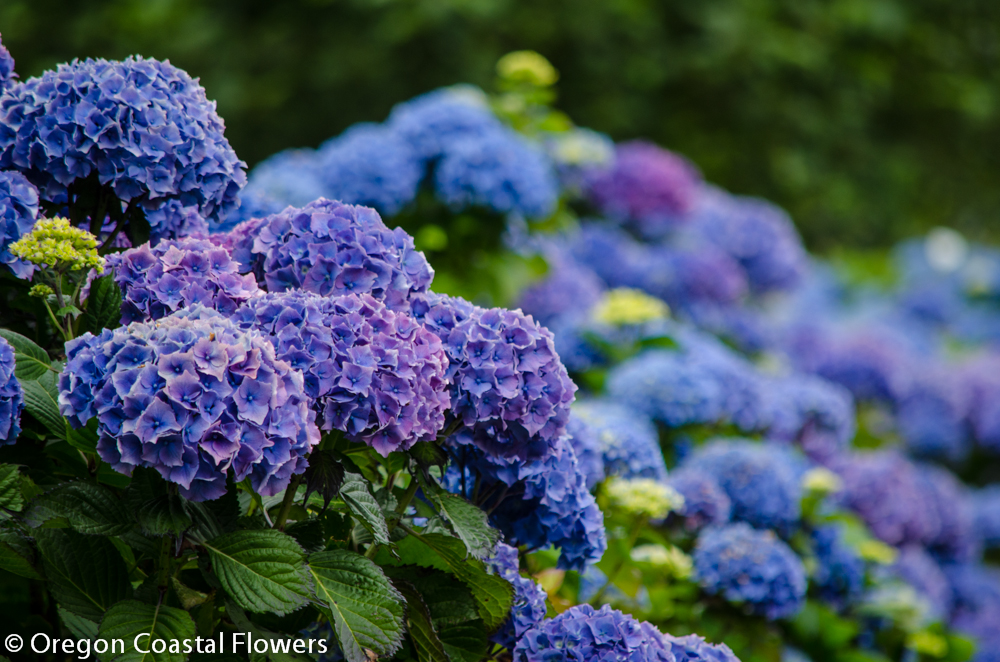 Mature Hydrangea Plants for Sale