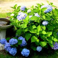 Hydrangeas Have Long Lasting Blooms