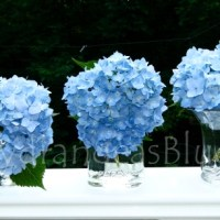 Vases Filled With Light Blue Hydrangeas