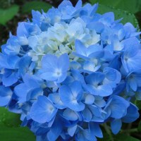 Endless Summer Hydrangeas For Northern Gardens