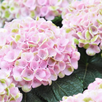 Hydrangeas in Florida May Grow Best Inside