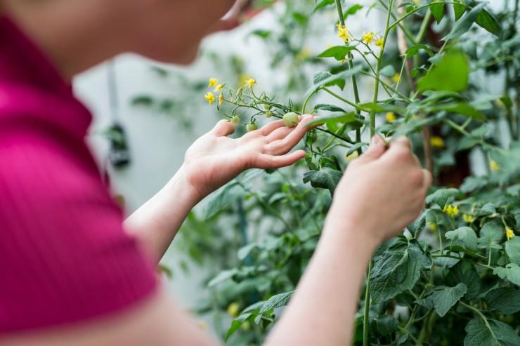 Woman checking tomato plants