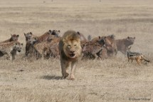 Lions are the fiercest competitors