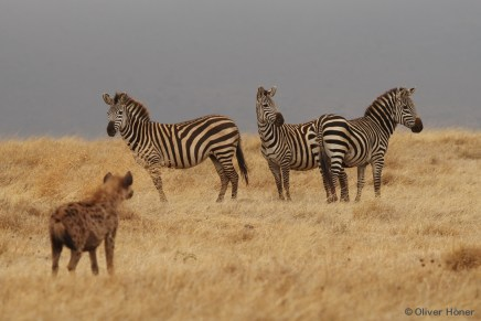 Spotted hyena and zebras in the Ngorongoro Crater