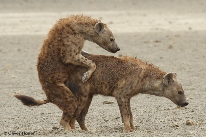 Spotted hyenas mating