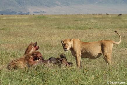 Zwei Hyänen und eine Löwin an einem Gnuriss