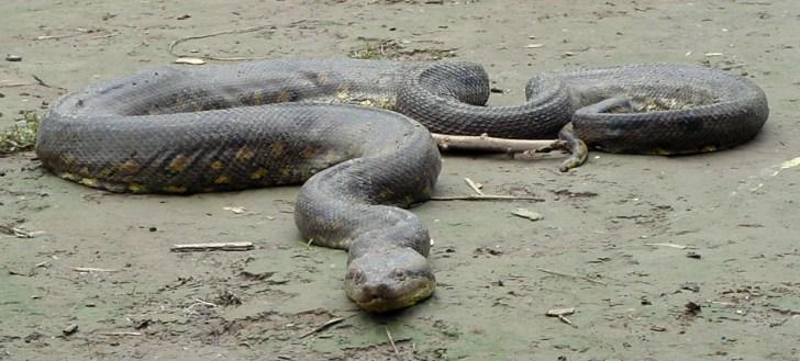 Giant Anaconda Amazon