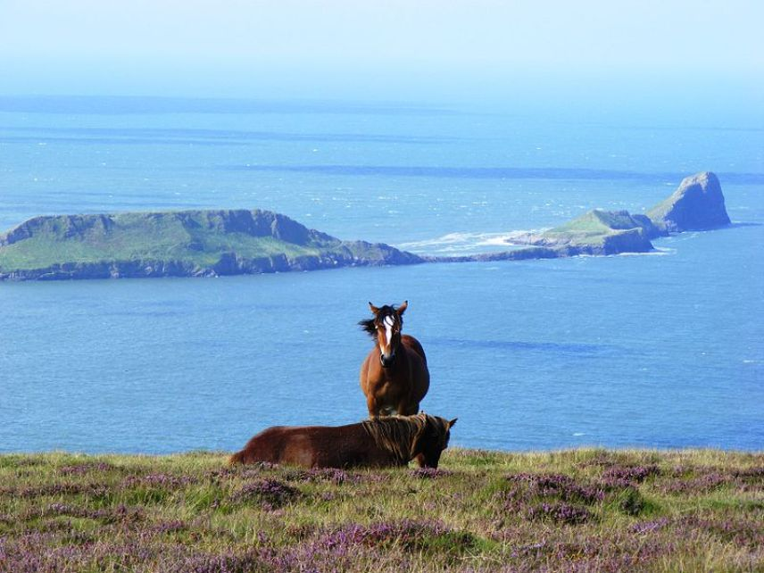 Horses grazing on the heather with the Worms Head in the background