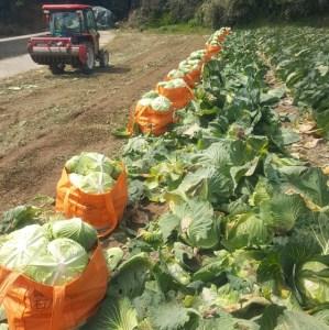 キャベツ収穫