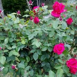 赤いバラ2番咲き
