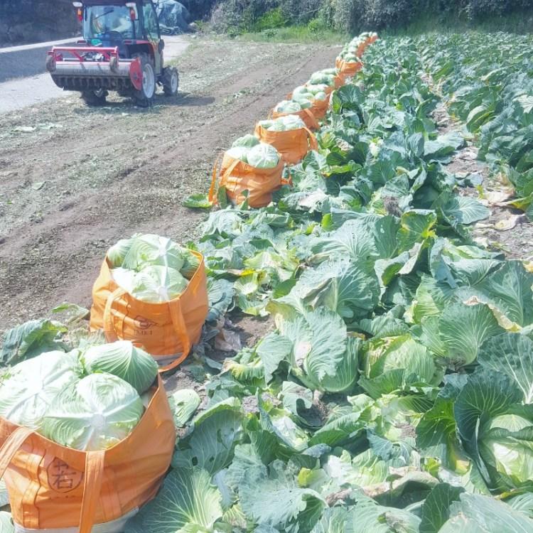 20160327_キャベツ収穫