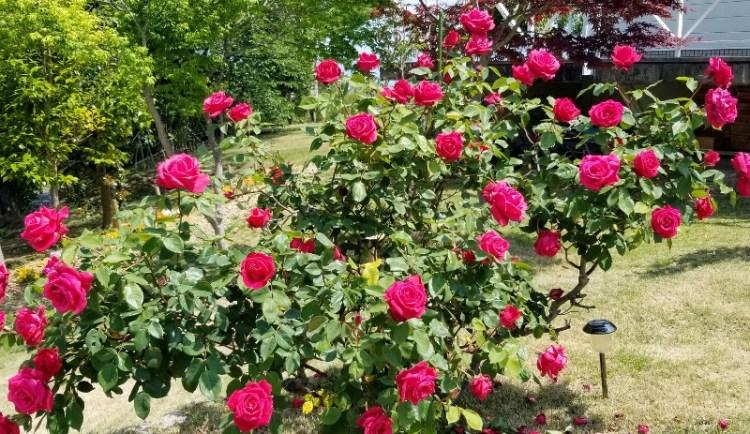 rose_20190513_103030 (800x463)