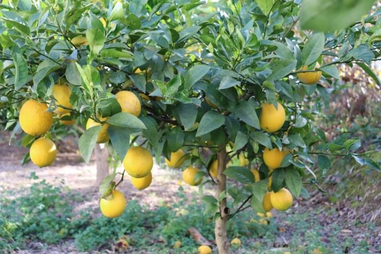 lemon_IMG_2076 (800x533)