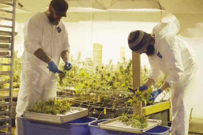 The Process of Extracting Cannabis Concentrates With Solstice Studios
