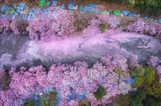 The Quiet Beauty of Japan's Cherry Blossoms