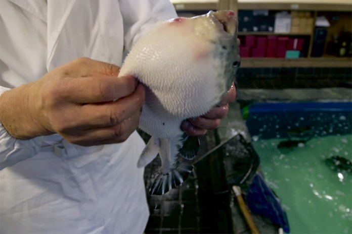 This Is How You Prepare the Poisonous Puffer Fish for a Meal