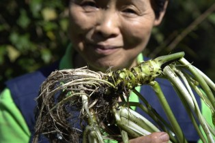 This Captivating Video Portrays the Pains of Cultivating Real Wasabi