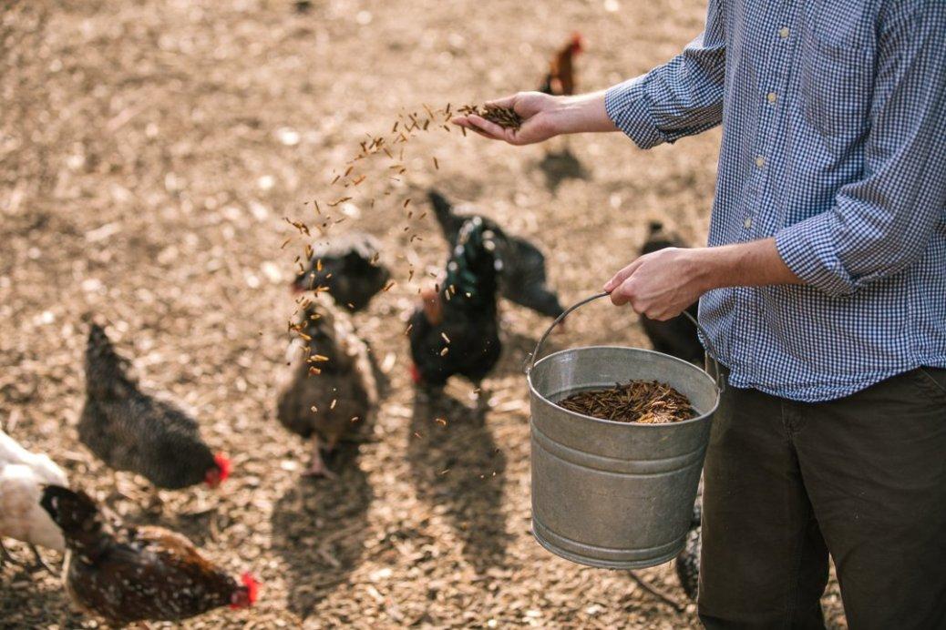 Chickens feeding from bucket