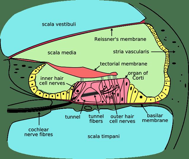 Korvan Simpukka