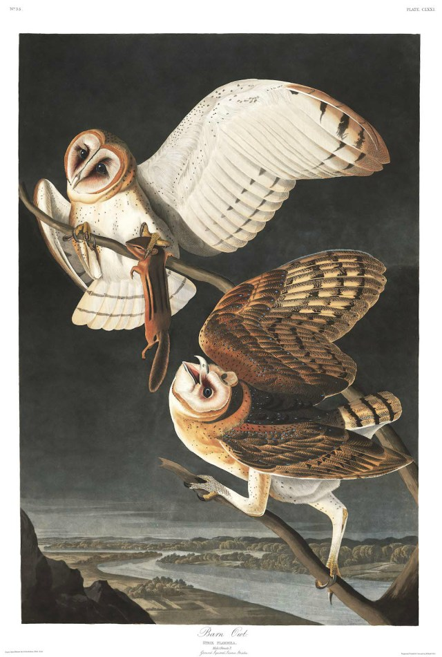 "John James Audubon, ""Barn Owl"" (Plate 171 from 'The Birds of America') (courtesy Audubon Society)"