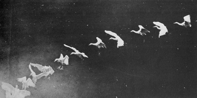 Flapping herons (1886), photographed by Étienne-Jules Marey (via Wikimedia)