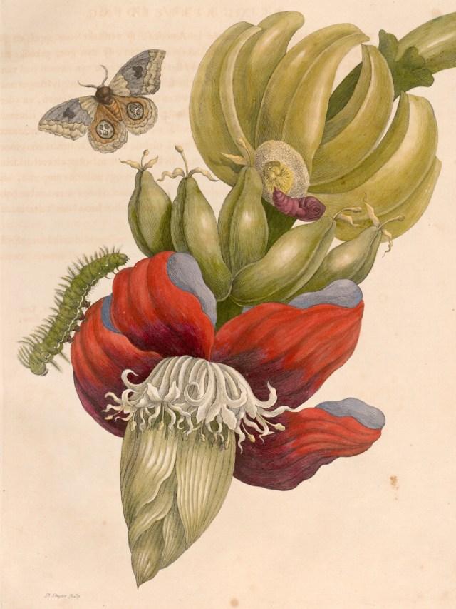 Maria Sibylla Merian, Plate 12 from 'Metamorphosis Insectorum Surinamensium' (1705) (courtesy Universitätsbibliothek Johann Christian Senckenberg, Frankfurt)