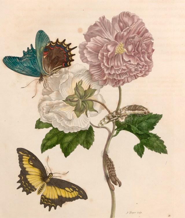 Maria Sibylla Merian, Plate 31 from 'Metamorphosis Insectorum Surinamensium' (1705) (courtesy Universitätsbibliothek Johann Christian Senckenberg, Frankfurt)