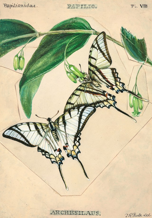 Plate VIII: The South American Swallowtail