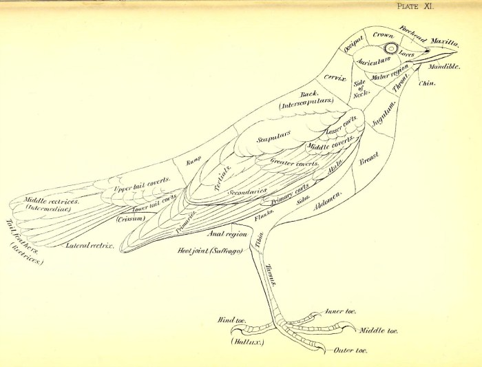 Bird diagram from the 1886 'A nomenclature of colors for naturalists : and compendium of useful knowledge for ornithologists' by Robert Ridgway (via Smithsonian Libraries)