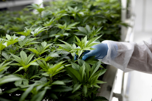 connected cannabis co raises 30 million to bring its designer weed strains to more states hyperedge embed