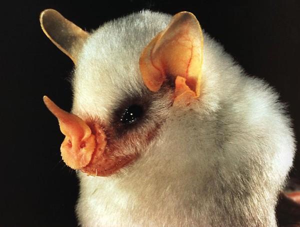 Ectophylla alba morcego branco