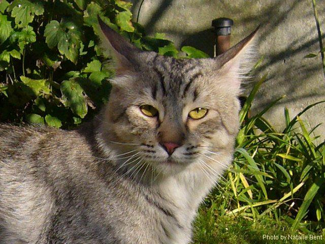 gato Pixie-Bob