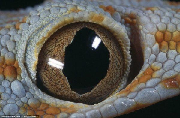 Esse olho esbugalhado pertence a uma lagartixa-tokay, que vive nas Filipinas