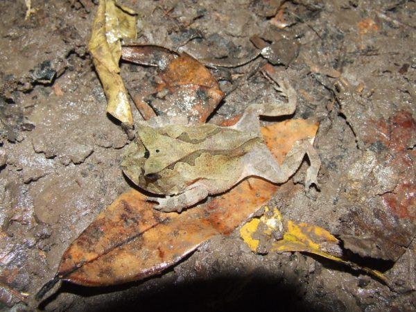 Proceratophrys renalis, fotografado em Cruz do Espírito Santo/PB